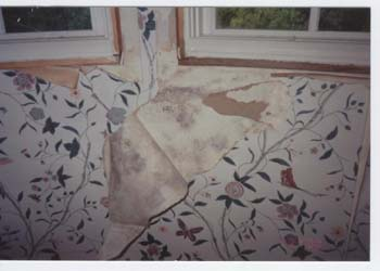 Vinyl Wallpaper Mold Growth On The Back Of And Sheet Rock
